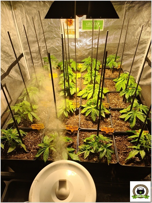 5-Barney`s Farm y Toni13: Lemon Tree, GMO, Mimosa x Orange Punch y Blue S.S-4