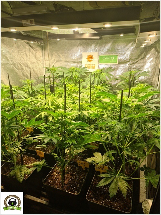 7-Barney`s Farm y Toni13: Lemon Tree, GMO, Mimosa x Orange Punch y Blue S.S-3