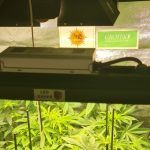 7-Barney`s Farm y Toni13: Lemon Tree, GMO, Mimosa x Orange Punch y Blue S.S