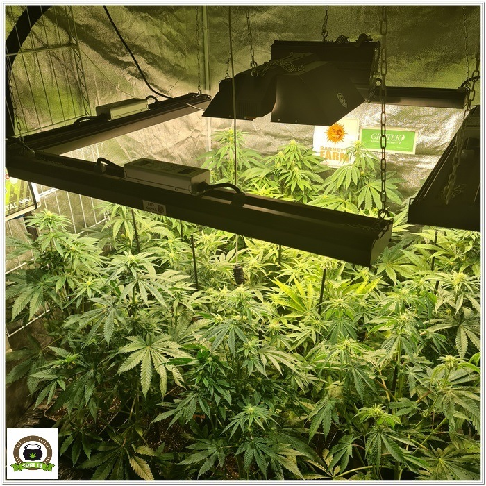 8-Barney`s Farm y Toni13: Lemon Tree, GMO, Mimosa x Orange Punch y Blue S.S-3