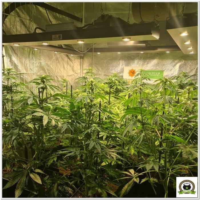 8-Barney`s Farm y Toni13: Lemon Tree, GMO, Mimosa x Orange Punch y Blue S.S-4