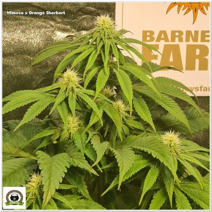 9-Barney`s Farm y Toni13: Lemon Tree, GMO, Mimosa x Orange Punch y Blue S.S-1