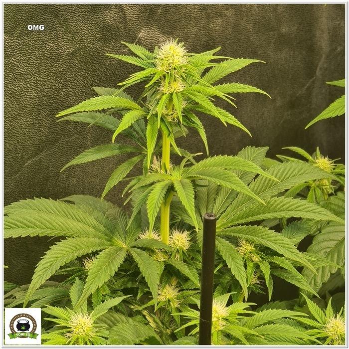 9-Barney`s Farm y Toni13: Lemon Tree, GMO, Mimosa x Orange Punch y Blue S.S-2