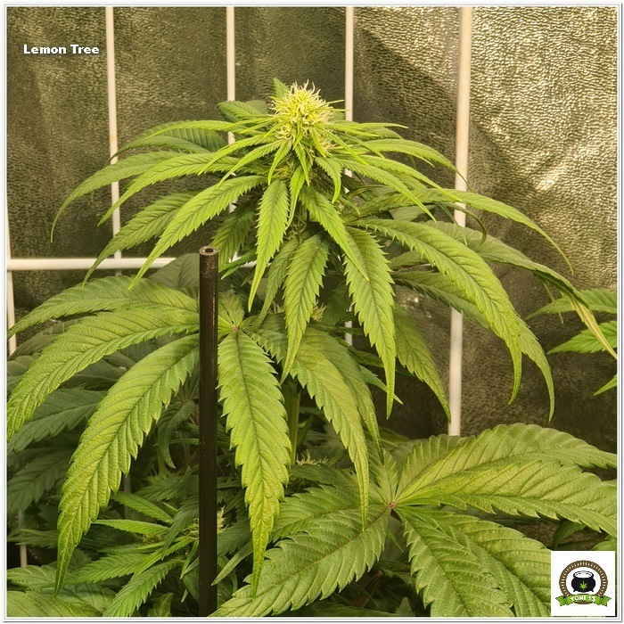 9-Barney`s Farm y Toni13: Lemon Tree, GMO, Mimosa x Orange Punch y Blue S.S-3