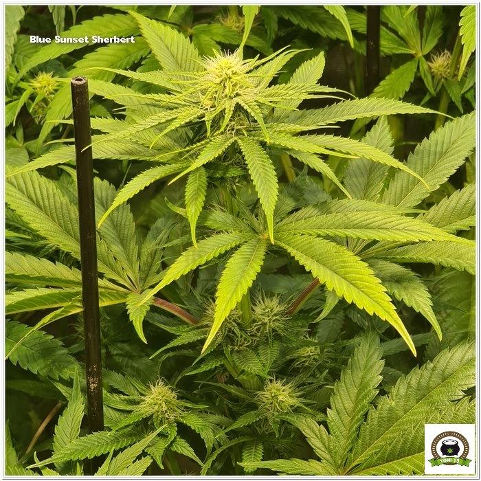 9-Barney`s Farm y Toni13: Lemon Tree, GMO, Mimosa x Orange Punch y Blue S.S-4