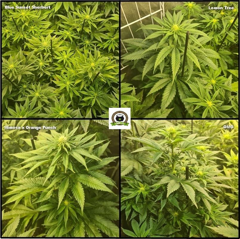 8-Barney`s Farm y Toni13: Lemon Tree, GMO, Mimosa x Orange Punch y Blue S.S-2