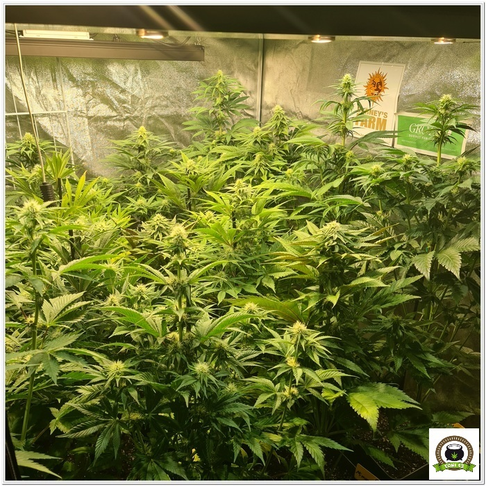 9-Barney`s Farm y Toni13: Lemon Tree, GMO, Mimosa x Orange Punch y Blue S.S-5