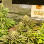 9-Barney`s Farm y Toni13: Lemon Tree, GMO, Mimosa x Orange Punch y Blue S.S
