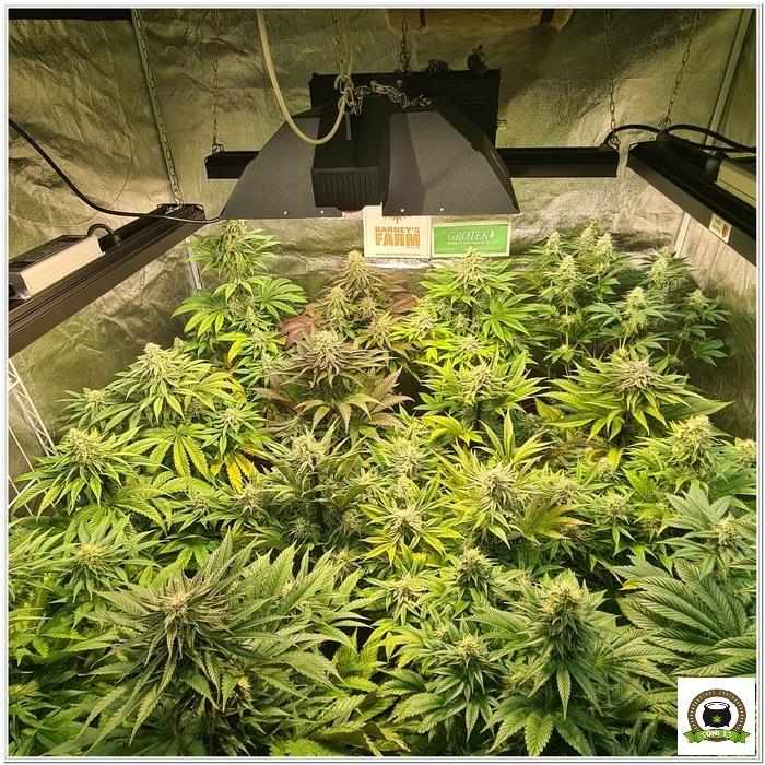 10-Barney`s Farm y Toni13: Lemon Tree, GMO, Mimosa x Orange Punch y Blue S.S-1