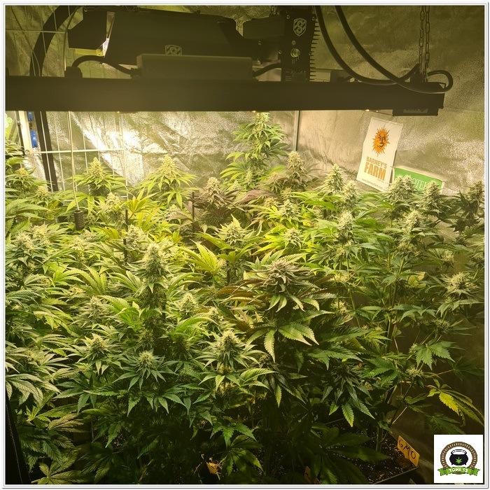 10-Barney`s Farm y Toni13: Lemon Tree, GMO, Mimosa x Orange Punch y Blue S.S-3