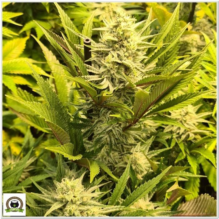 10-Barney`s Farm y Toni13: Lemon Tree, GMO, Mimosa x Orange Punch y Blue S.S-5