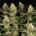 13-Barney`s Farm y Toni13: Lemon Tree, GMO, Mimosa x Orange Punch y Blue S.S