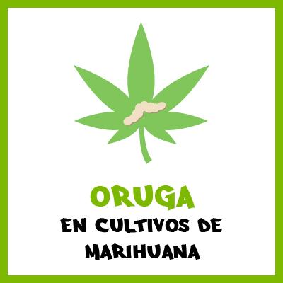 Oruga en cultivos de marihuana. Por Toni13