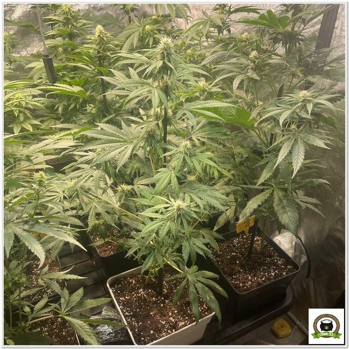 ¿Es eficiente cultivar plantas automáticas a 12/12?-3