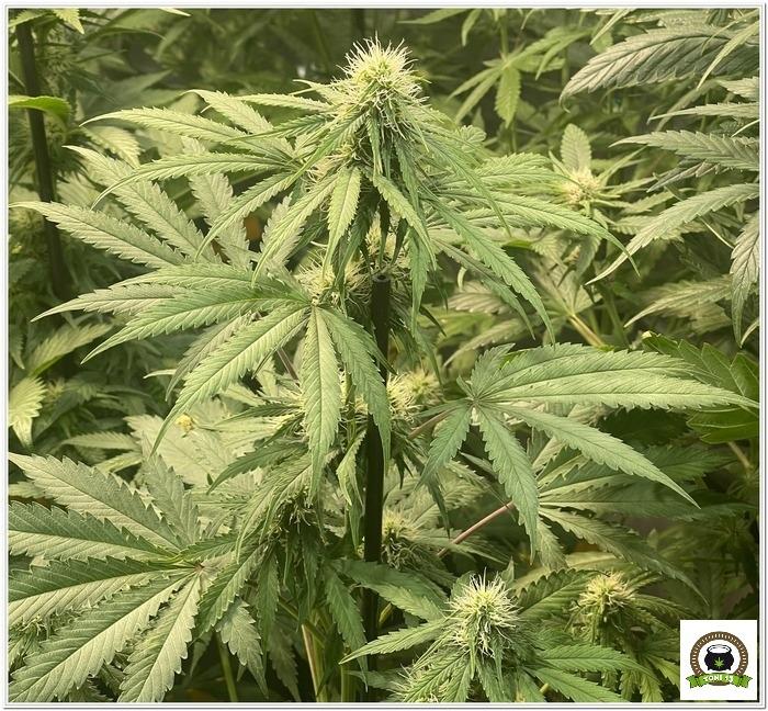 ¿Es eficiente cultivar plantas automáticas a 12/12?-4
