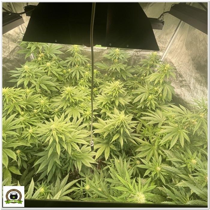 ¿Es eficiente cultivar plantas automáticas a 12/12?-5