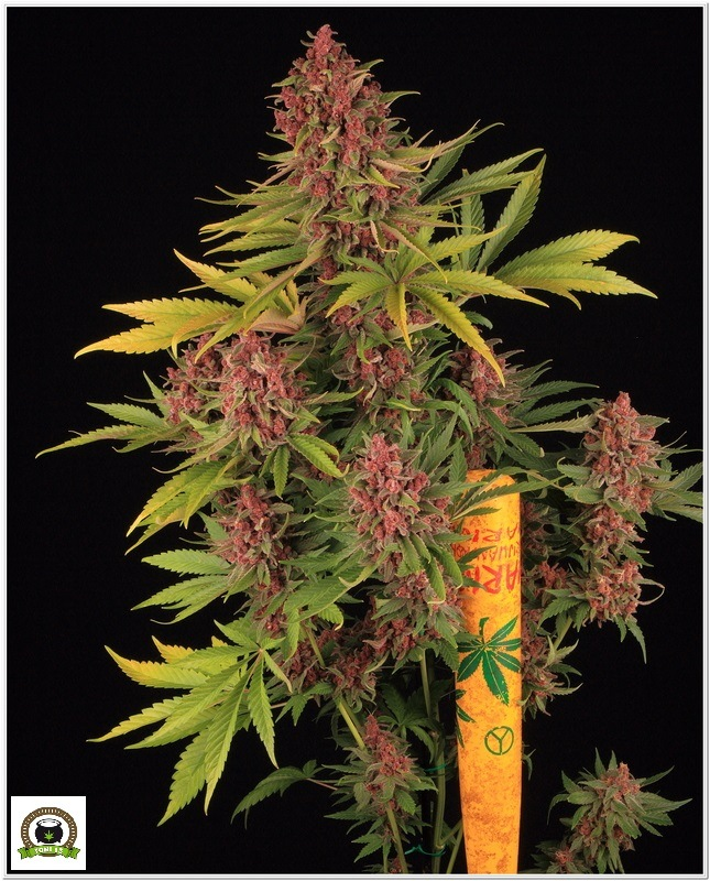 Peyote Purple toni13-2