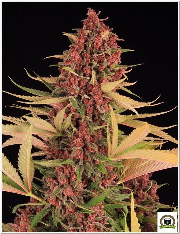 Peyote Purple toni13-3