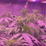 🌱 SCROG en armario de 1 metro cuadrado 5 plantas Bafy 💚floración 2ª semana
