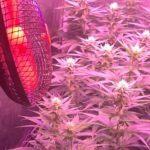 🌱 SCROG en armario de 1 metro cuadrado 5 plantas Bafy 💚 floración 3ª semana
