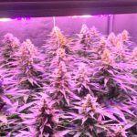 🌱 SCROG en armario de 1 metro cuadrado 5 plantas Bafy 💚 floración 6ª semana